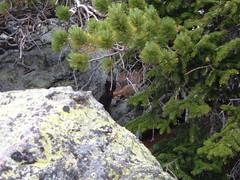 dscf4034.jpg (mbeldyk) Tags: marmot treeline rockymountainnationalpark twinsisterspeak