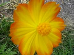 flores Nilceia Gazzola 43a (nilgazzola) Tags: brasil de foto sp fotos ou com nil minhas tirada maquina echapora gazzola nilgazzola