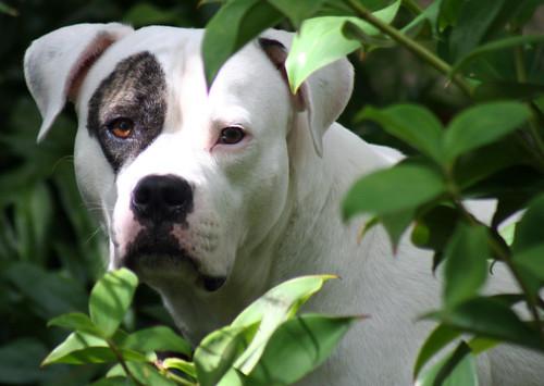 american bulldog pictures. Strider - American Bulldog