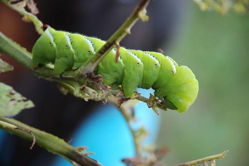 tobacco hornworm 2