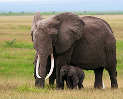 I'm sticking with you mom (Bill D114) Tags: africa nature wildlife ngc safari elephants specanimal golddragon mywinners anawesomeshot theperfectphotographer