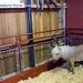 ラブラドール:Miniature Horse