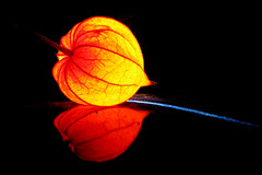 Natural lampion (Thomas Reichart ) Tags: autumn light red orange flower fall glow herbst blister blume blase lampion physalis bladder cyst transience lampionbl