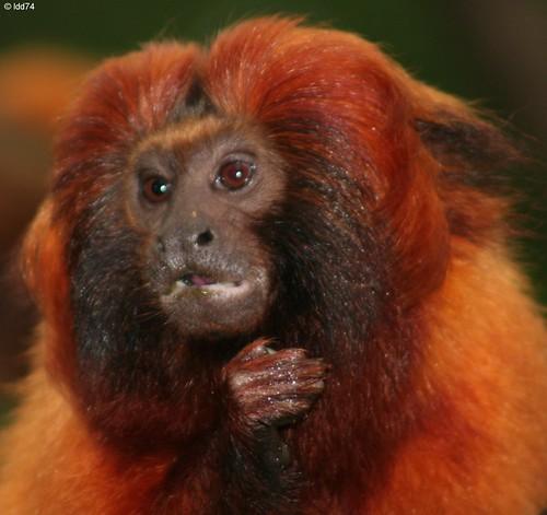 african animals of golden lion monkey still