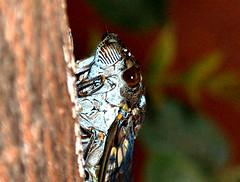 cigarra (Henrique César Multimídia) Tags: flores abelha inseto borboleta pardal aranha formiga lagartixa cigarra teiadearanha invertebrado enxame arapuá umpaisparatodos fotosmacro