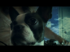mi_consuelo-13 (www.bevarela.com) Tags: bostonterrier videoart finalcutpro visualeffects videodance moleculagem colorgrading applecolor imagecompositing