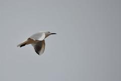 Gabbiano Minore in volo (fabmed71) Tags: sardegna parco mare sardinia uccelli saline spiaggia gabbiani cagliari gabbiano parchi poetto molentargius quartu zoneumide gabbianominore