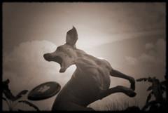 artistik aktion pose (saikiishiki) Tags: dog playing silly cute love mouth pose athletic amazing jump perfect funny artistic action muscular air super weimaraner kawaii ear form elegant graceful yabai 2010 frizbee weim mukha sugoi 2252 thelittledoglaughed 52weeksfordogs 52weeksofmukha