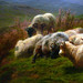 Rosa Bonheur, Sheep in the Highlands, detail with resting sheep