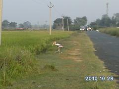 Crane bird at Takha neer Sarsai Nawar range