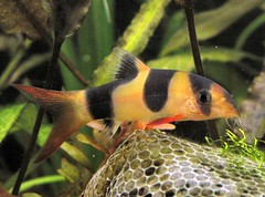 donald the clown loach by benaston, on Flickr