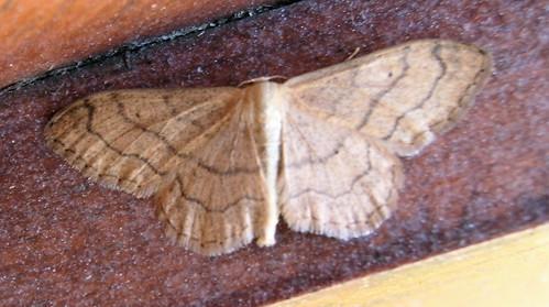 090607 Riband Wave Moth