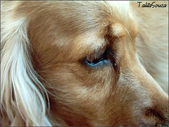 (Talita Souza) Tags: dog eye look cocker