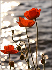 Poppies in the Sunset on Lake Geneva (Pear Biter) Tags: flowers sunset red sunlight reflection water switzerland interestingness warm fuzzy bokeh lakeside sparkle promenade poppy poppies lakegeneva montreux excelle