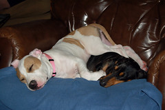 comfortable? (Carrie Taylor) Tags: sleeping dog dogs freeassociation comfortable puppy lucy snoopy americanstaffordshireterrier carrietaylor
