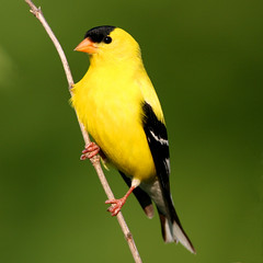 American Goldfinch (Breeding Male) (Hard-Rain) Tags: bird nature yellow illinois wildlife goldfinch aves naperville carduelistristis fringillidae passeriformes carduelis greenevalleyforestpreserve avianexcellence diamondclassphotographer flickrdiamond