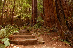 Lost Trail, Muir Woods (Tyler Westcott) Tags: california hiking steps trail muirwoods redwood nationalmonument coastalredwood losttrail nikond40 bdppow