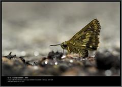 Moores Ace (Anoop Anand A) Tags: india closeup canon butterfly 350d ace butterflies kerala 3a filter canon350d l canoneos350d anoop ef aaa trivandrum westernghats extensiontube 400mm kenko canon500d thiruvananthapuram butterflyindia macrofilter canonef400mmf56l anoopaa bonacaud bonakkad 3abinurahularun mooresace ponmudikallar anoopananda anoopco wwwanoopco httpwwwanoopco