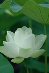 Lotus flower (kaycatt*) Tags: flowers white flower macro excellence tamron90 abigfave anawesomeshot aplusphoto lightstylus lotusf