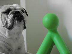 Vriendje erbij?? (minibergh) Tags: blackandwhite dog pet green puppy groen zwartwit hond boris englishbulldog zwart wit huisdier magis engelsebulldog minibergh magispuppy