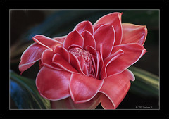 Red Torch Ginger. (Barbara J H) Tags: torchginger ornamentalginger gingerflower ginger garden redflower maroochydore qld australia barbarajh caononeos20d happyandinspiring excellence naturesfinest
