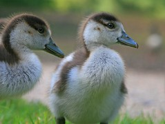 What's he up to? (G w Clark) Tags: uk kewgardens cute london sunshine wildlife young chicks ducklins