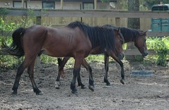 "Two bay ponies (Saveena (AKA LHDugger)) Tags: horse male animal fauna skinny bay spring all texas no tx lisa any h rights form written thin ymca without usage reserved equine corral equus paddock allowed consent gelding dugger ""© ymcacamppinetree saveena"""