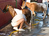 Washing Mini Horses (Shaan Hurley) Tags: horse 2007 blackfootidaho easternidahostatefair