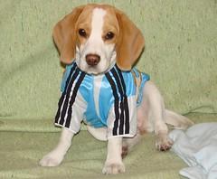 MeL en camiseta de Argentina (Betolandia) Tags: copyright dog beagle argentina puppy rugby hound mel perro ilegal beto lospumas betolandia perrosdeargentina susanagrimaldisheridan didyouknowthatitisillegaltostealpictures robarfotoses