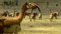 16 macracuhenia herd