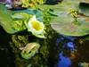 Find a new romance (blog100days) Tags: flowers españa water lotus alhambra fiore acqua loto spagna nelumbo sacredlotus nelumbium fiordiloto