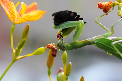 螳螂捕蝶 024