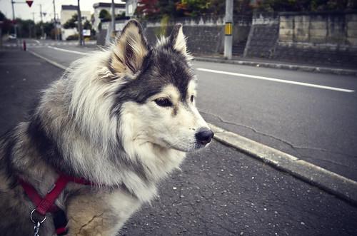 フリー写真素材|動物|哺乳類|イヌ科|犬・イヌ|