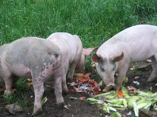 Piggies in a puddle