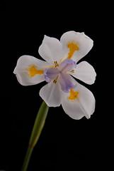 Moraea (EncinoMan) Tags: shot awesome an naturesfinest moraea flowerotica flickrsbest anawesomeshot impressedbeauty superaplus aplusphoto wowiekazowie