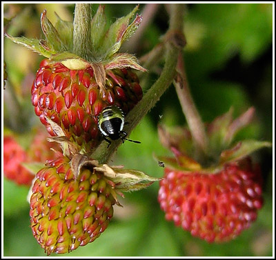 funny green bug on alpine strawberry copy