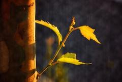 New life / Nueva vida (victor_nuno) Tags: life anna naturaleza tree hoja nature ilovenature leaf friend amiga explore solstice thoughts vida simplicity book1 rbol getty challenge gettyimages 2007 newlife reto pensamientos solsticio sencillez interestingness214 i500 nuevavida nikond80 victornuno vctornuo wwwvictornunocom wowiekazowie