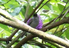 Blackcap in Russia Dock Woodland