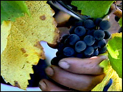 Wine Grapes Picked By Hand