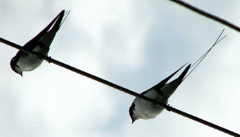 wire-tailed swallows ranganathittu 150707