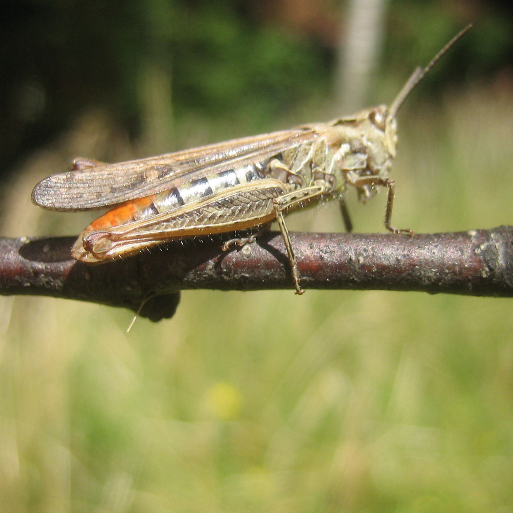 Grasshopper preparing to jump