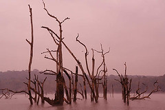 Kabini River -2-Sepia (sanmang610) Tags: park morning blue trees india tree green nature water birds horizontal misty fog sepia fauna river landscape asia branch wildlife branches dry stump submerged karnataka barren sanctuary atmospheric avian kabini waterbirds nagarhole