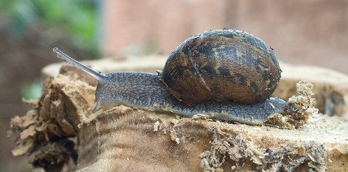Brown Snail - 2