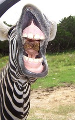 Zebra Feed Me (SA_Steve) Tags: texas teeth zebra z1 naturalbridgewildliferanch drivethrusafari lmaoanimalphotoaward excapture