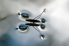 Water Boatman - by nordicshutter