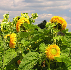 Sunflowers in Amish Country (CountryDreaming) Tags: flowers ohio summer sky flower clouds searchthebest sunny amish sunflowers sunflower amishcountry naturesfinest blueribbonwinner supershot mywinners abigfave anawesomeshot