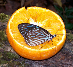 Narancslt hrplget lepke / Drinking orange juice (ssshiny) Tags: butterfly insect blueribbonwinner rovar pillang lepke