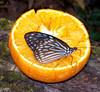 Narancslét hörpölgető lepke / Drinking orange juice (ssshiny) Tags: butterfly insect blueribbonwinner rovar pillangó lepke