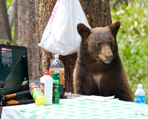 Bear at Campsite