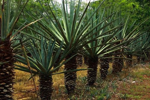 Henequen Plants